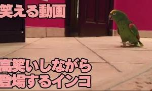 【笑える動画】高笑いしながら 登場するインコ
