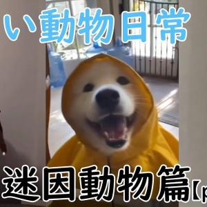 【面白映像】【爆笑注意】可愛い動物日常。大陸迷因-可愛動物篇。