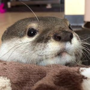 カワウソさくら 今更アゴ乗せにはまる流行りに疎いカワウソ Otter to put a chin