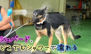 シェパード犬、ポータブルシャワーでびしょ濡れになる【German Shepherd】 My Dog Got Soaked With A Portable Shower!