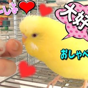 ハムスターに愛の告白をするお喋りセキセイインコ 面白可愛い・犬鳥ハムスターと暮らす動物チャンネル1325 Japanese animal channel