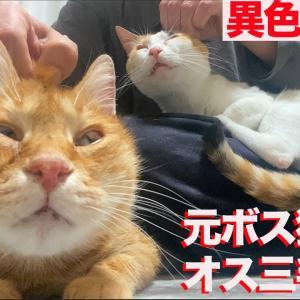 元武闘派ボス猫、美少年オス三毛猫に甘え方を学ぶ