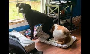 10分間腹が痛いほど爆笑する犬, 猫,動物のおもしろハプニング #222