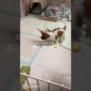 犬じゃらし?で遊ぶリッキーくん #shorts #dog #こいぬ #キャバリア