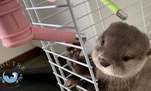 カワウソの赤ちゃんがママに本気で怒られる!! Baby otter got angry with mom for the first time!