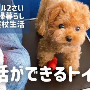 【 よく喋る犬 】ママがリハビリ始めるとなぜか邪魔してくる愛犬 / トイプードル ティーカッププードル 成犬 ペット 動物 わんこ 東京 夫婦暮らし dog poodle pet Vlog Tokyo