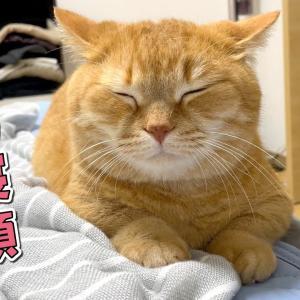 パパは要注意!?ママの隣でしか安心して眠れない甘えん坊猫!