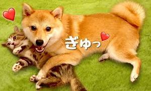 子猫を抱っこしないと落ち着かない系女子❤️柴犬は猫が好きすぎて離したくない!Shiba Inu dog who can't relax without holding a kitten cat.