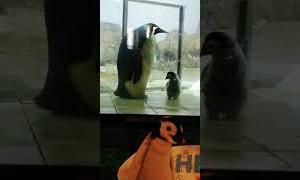 この世で最も可愛い動物、コウテイペンギンの赤ちゃん~Baby emperor penguin, the cutest animal in the world~