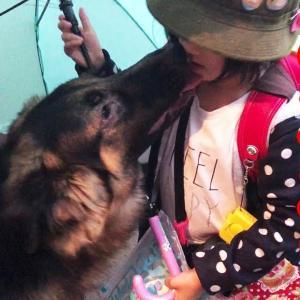 シェパード犬子供を待ってます孫娘大好きGerman Shepherd dog