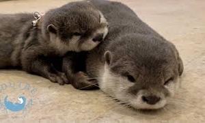 カワウソの赤ちゃんが人間の友達を募集します  Baby Otters Are Looking For Human Friends!