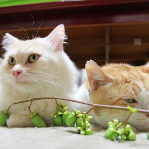 マタタビの実と猫たち 210916