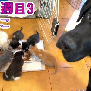 【保護猫 子猫 寿司ねこ】生後5週目3 ママの服薬終了!