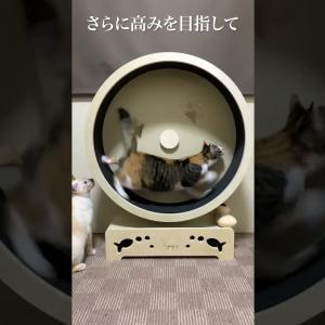 猫用ランニングマシン がんばった結果 – キャットホイール CATWHEEL 猫の回し車 #shorts
