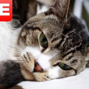 【猫ライブ配信】火曜日のリキちゃん♪ 2021.9.21 リキちゃんねる/キジトラ猫 ねんねタイム  おやつタイム 癒しのナイトルーティンLIVE