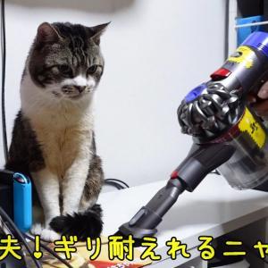 パパが忙しそうにしてると傍に行きたくなる猫リキちゃん☆自宅警備員がんばってますw【リキちゃんねる 猫動画】 キジシロ猫のいる暮らし