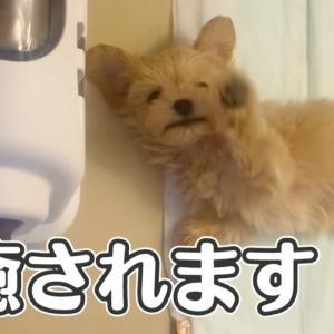 【Vlog】癒し動画🐶 生後2ヶ月の子犬がお腹を出して甘えてきたら可愛すぎた (トイプードル×マルチーズ マルプー)puppy dog healing video