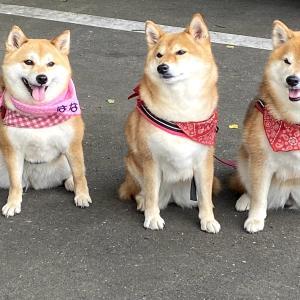かわいい三柴犬ちゃん。