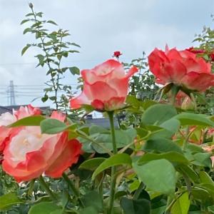 まだバラの花がキレイです。