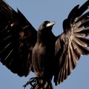 カラスの日常 [Daily life of a crow]