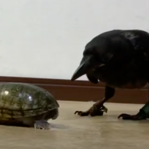 ミシシッピニオイガメ[Common musk turtle Stinkpot]