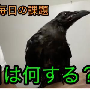 カラスとのじゃれあい [Let's play with crows]