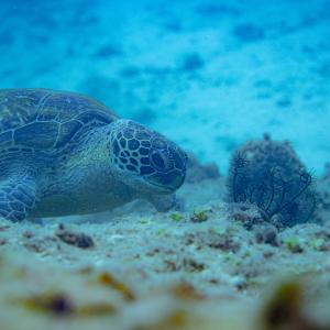沖縄北部 やっぱり楽しいイシキリ調査ダイビング