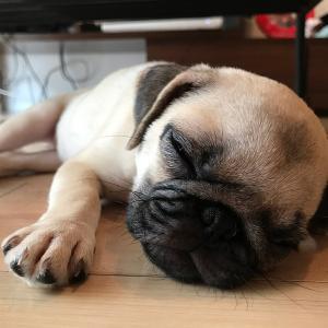 パグ犬にこぱん成長期【2017.7】生後2ヶ月パピー期