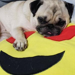 今日もよく寝るパグ、クッションを奪う。