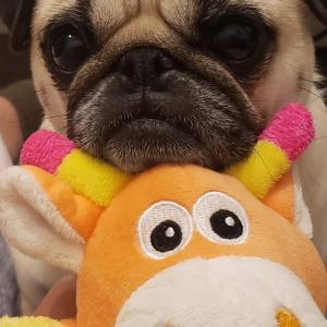 パグのにこ、人形にあごのせすることを覚えたよ!