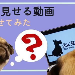 犬に見せる動画をパグに見せてみた【犬系youtubeネタ】