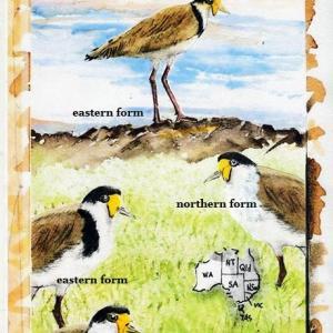 鳥 博物画