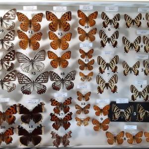 蝶標本・希少珍品