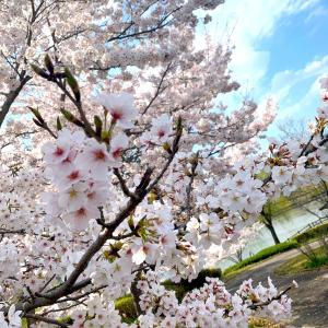 散歩に出かけると桜が…