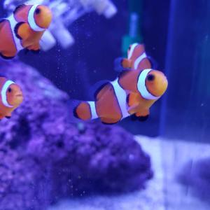 海水魚⑧ クマノミ