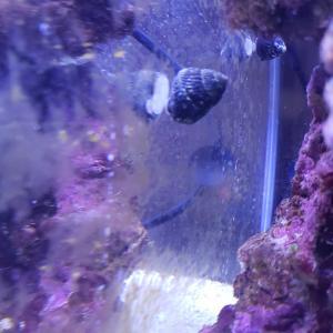 海水魚⑨  シッタカガイ