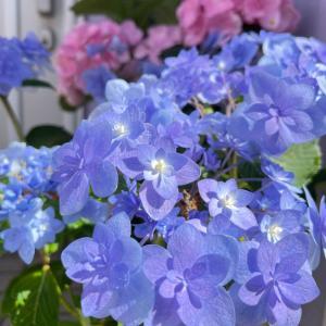 ♡鉢植えの方の紫陽花が見頃です♡