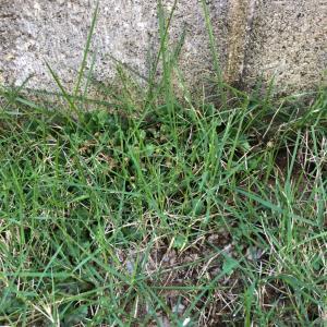 芝生 キレダー 除草剤 ❸