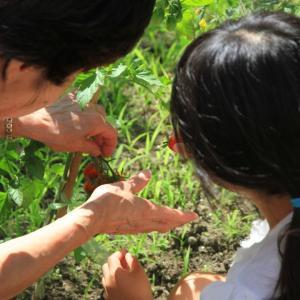 【食育】夏の野菜を収穫!洗ってすぐ食べる経験で好き嫌いを無くそう!