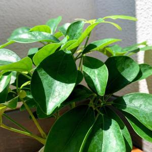 【写真】【観葉植物】新しい仲間が増えました(^^♪