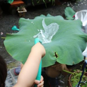 さつきとトトロが出会うシーンでトトロが雨よけに頭にのせていた里芋の葉のように葉っぱを傘にして遊んでみる。