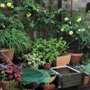 ②気軽にできる田圃作り。庭で田植えをしよう。