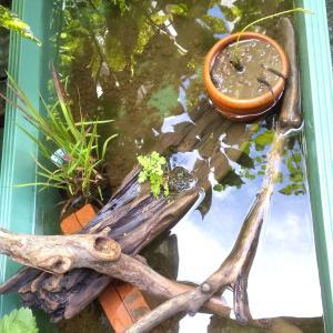 ハスの蕾とビオトープ作り。トロ船でメダカの住処を作りました。