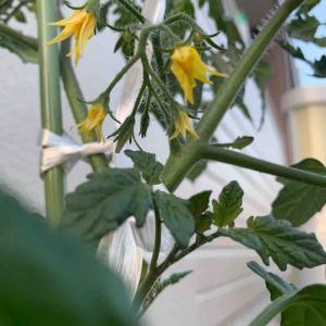 家庭菜園開始から17日…変化が