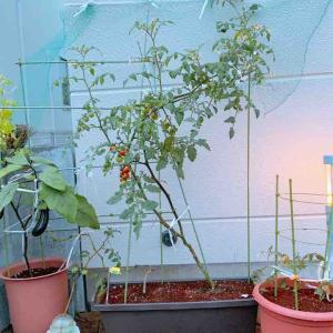 家庭菜園 トマトぐるぐる仕立て🍅