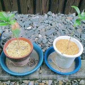 【第12話】キンモクセイの挿し木の1年後の経過報告 春先の新芽が伸びました