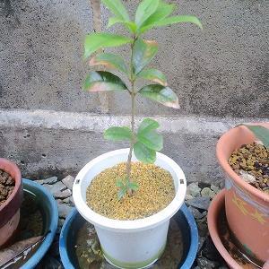 【第13話】キンモクセイの挿し木の1年半後の経過 柿の種も植えました