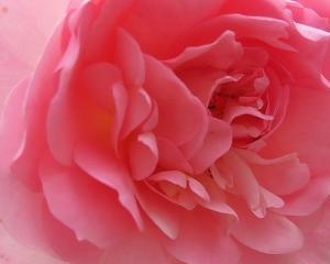 薔薇が散る