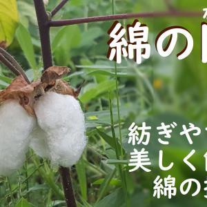 綿の開絮と摘み方の動画