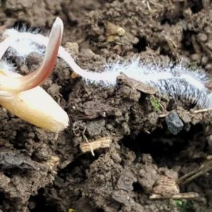 ライ麦の発芽・トンボのいる畑